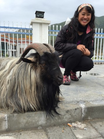 We found this old grumpy hairy goat roaming around the Xiahe town.