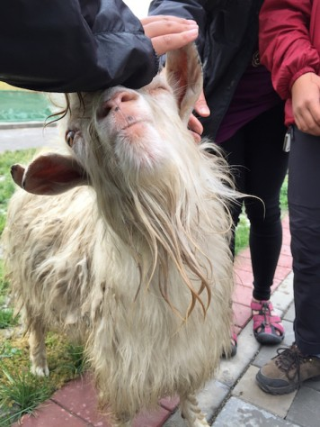 The 'pet' white goat in the Xiahe town was quite cuddly.