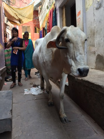 Holy cows and human share the same narrow alleys in Varanasi.