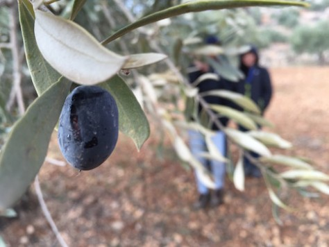We begged Odai to bring us to an olive farm, one of our favorite fruit.